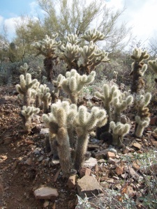 Jumping Cholla patch AZ 014