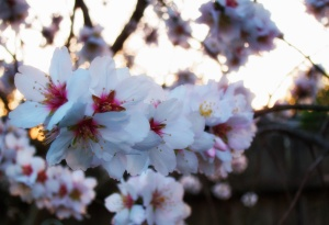 Almond blossoms 2013  4248