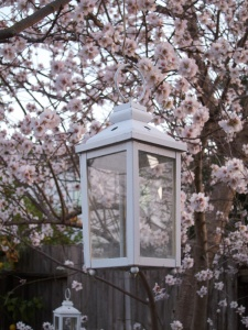 Almond blossoms and lantern 2013  4249