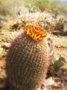 Barrel Cactus AZ 2013  4249