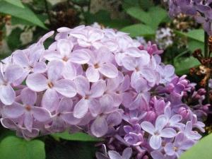 Lilac April 2013 starry sky filter  4249
