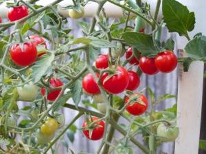 Cherry tomatoes  4326