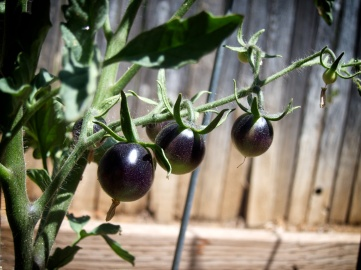 blacktomatoes